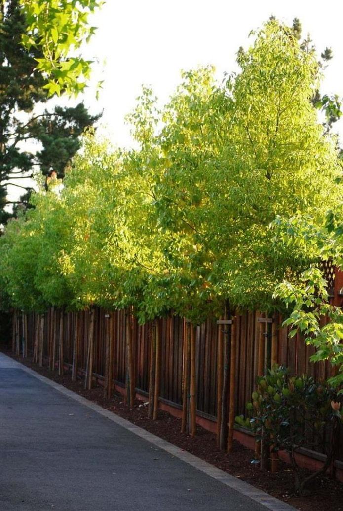 стройные деревья вдоль участка