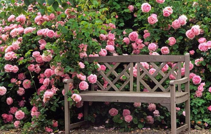 Живая изгородь из роз в саду
