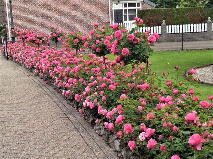 Бордюр из роз вдоль дорожки