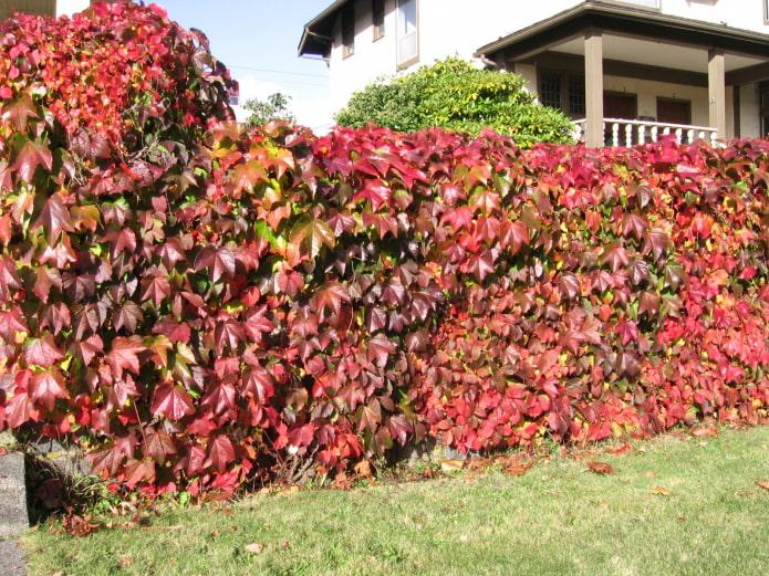 декоративный виноград в саду
