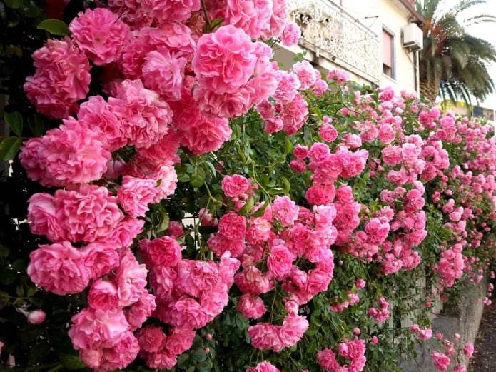 роза на заборе