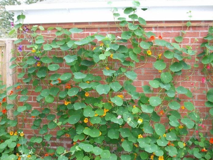цветы и листья настурции