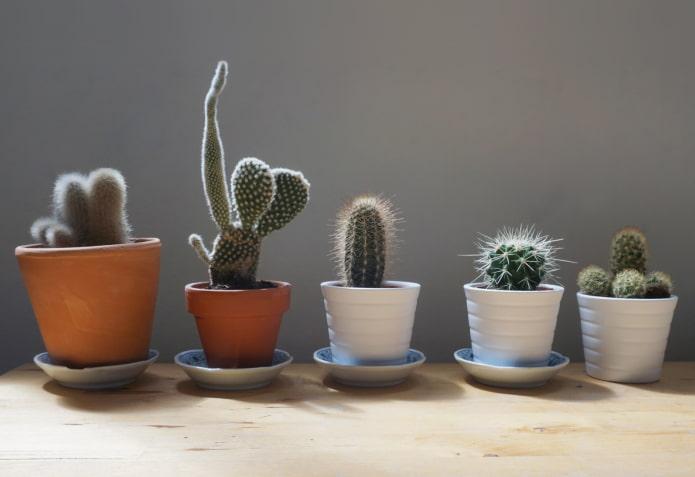 можно ли держать дома кактусы