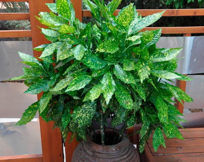 лиственные тенелюбивые растения