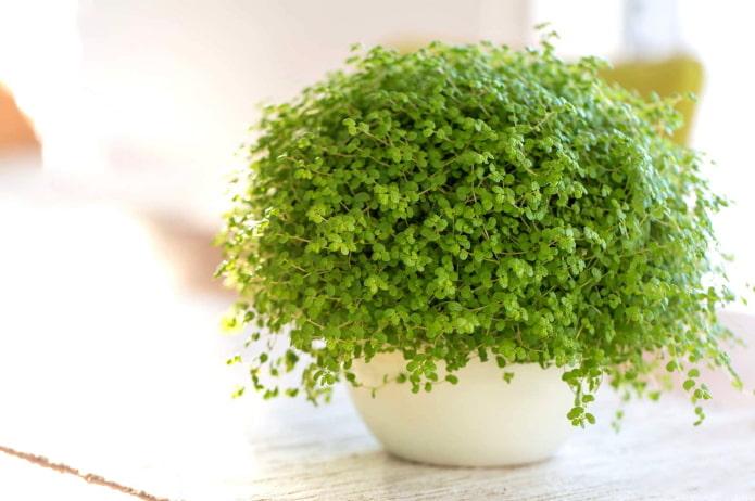 комнатное растение с мелкими листиками