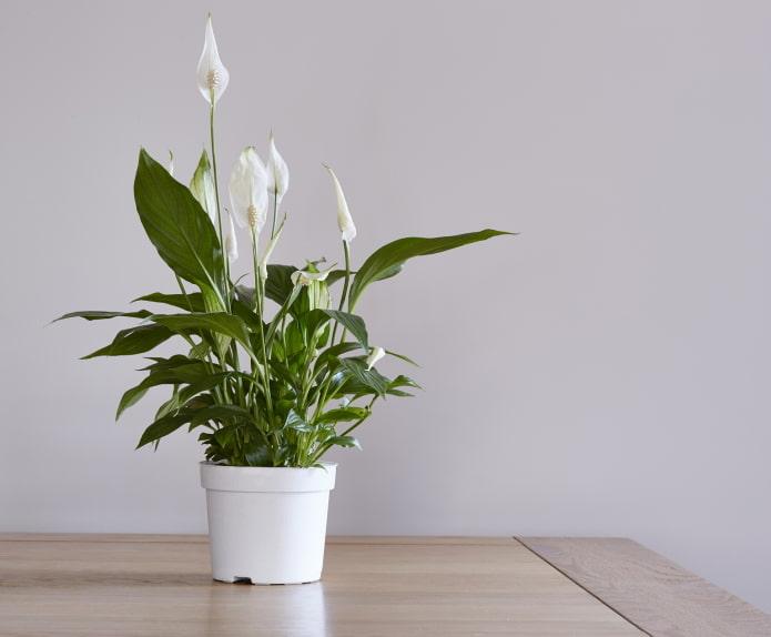 как цветет спатифиллум