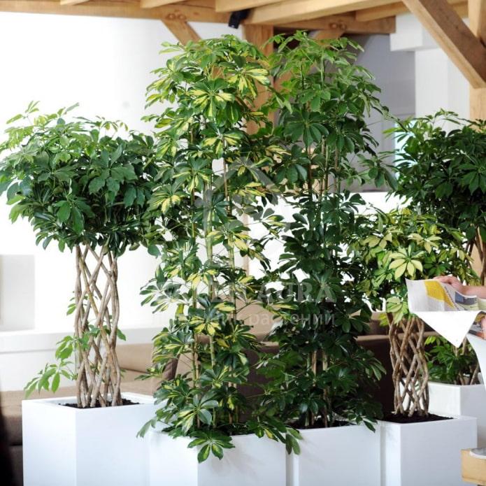 11 самых красивых комнатных деревьев, которые легко можно выращивать в квартире
