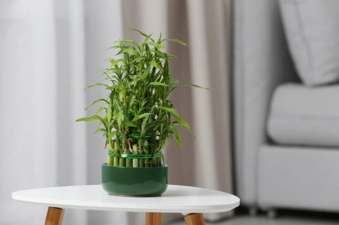 Комнатный бамбук – уход, размножение и 32 фото в интерьере