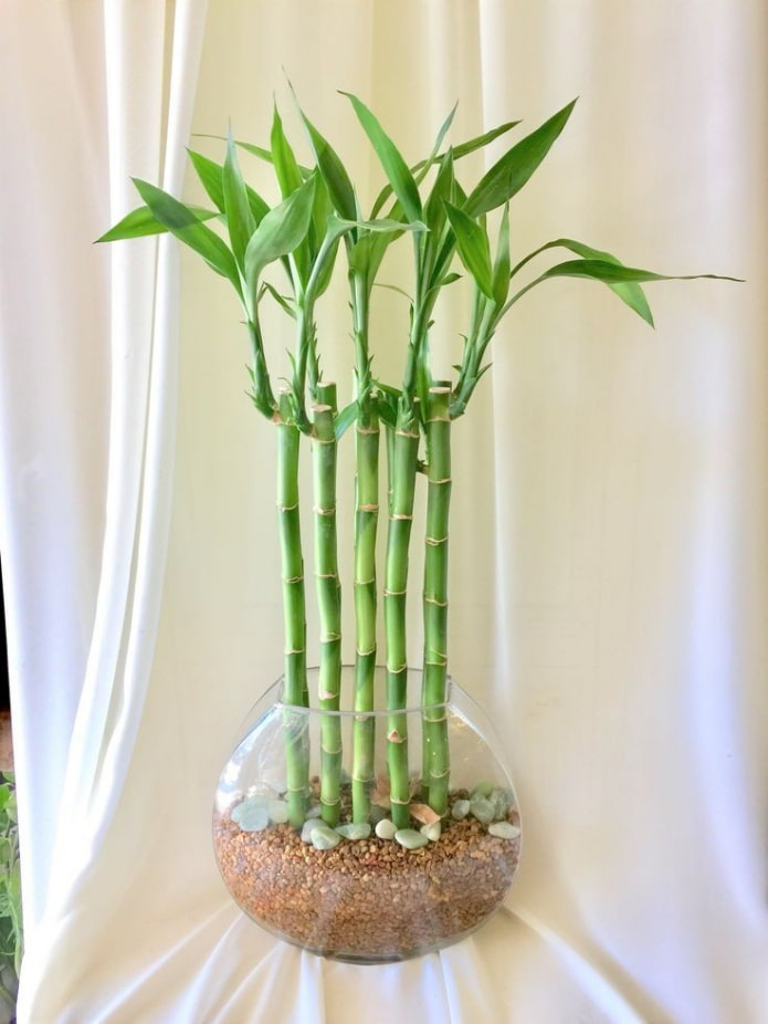 бамбук в вазе