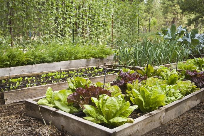 как выращивать зелень в саду