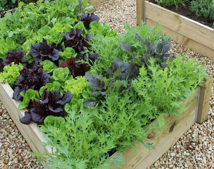 салат на грядке в саду