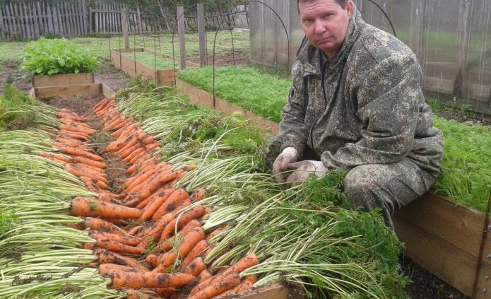 морковь в высокой грядке