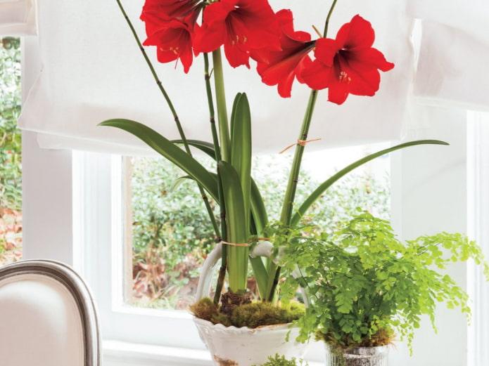 23 луковичных комнатных цветка – каталог с фото и названиями