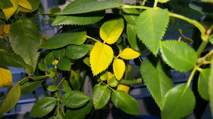Почему желтеют листья у комнатных растений? – 10 причин и их решение