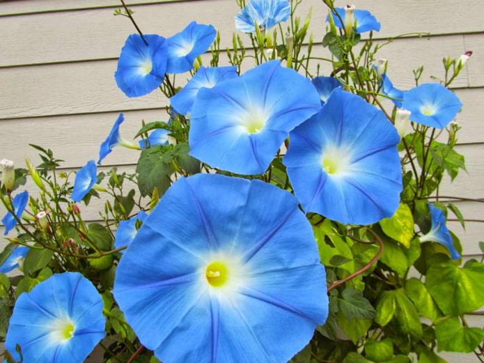 голубая ипомея