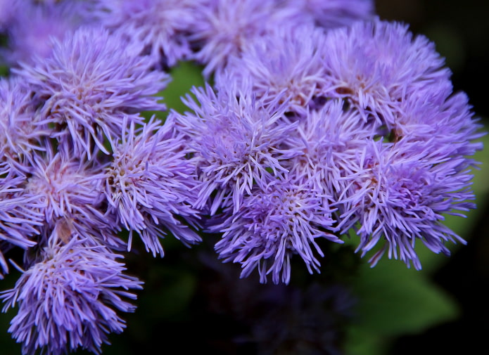 как цветет агератум