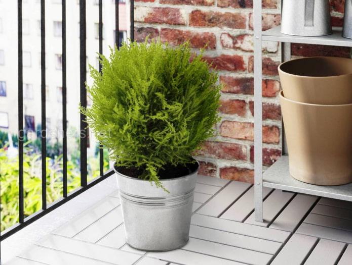 хвойное растение на балкон
