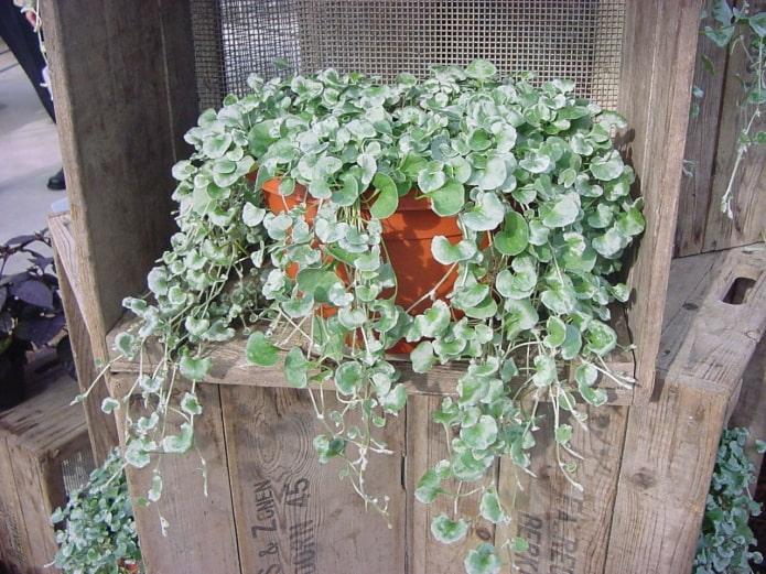 ампельное растение на балкон