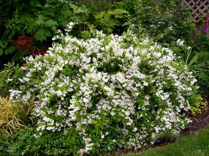 кустарник с белыми цветами