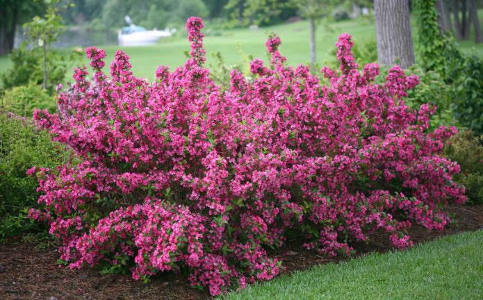 цветение вейгелы розовой