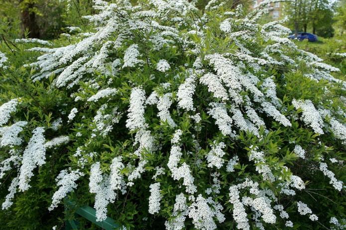 цветущая белая спирея