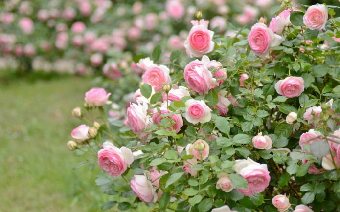 кустовая роза в саду