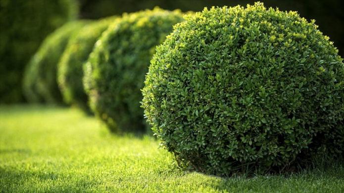 круглый кустарник