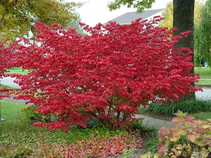 листья бересклета осенью