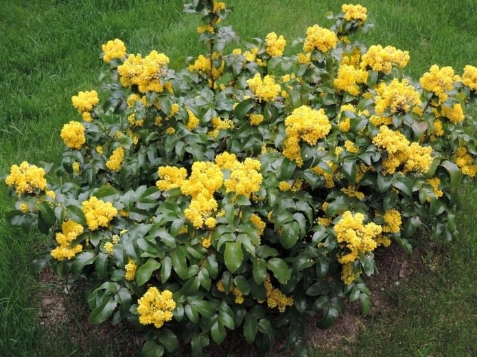 цветущая магония в саду