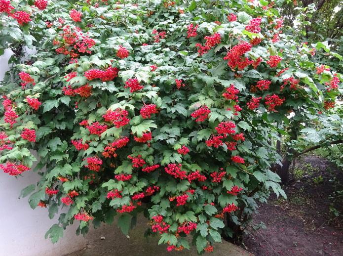 куст калины с ягодами