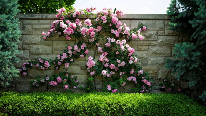 17 быстрорастущих вьющихся растений для забора