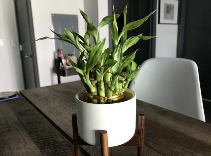 Как ухаживать за комнатным бамбуком?