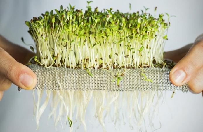 Как самостоятельно выращивать микрозелень?