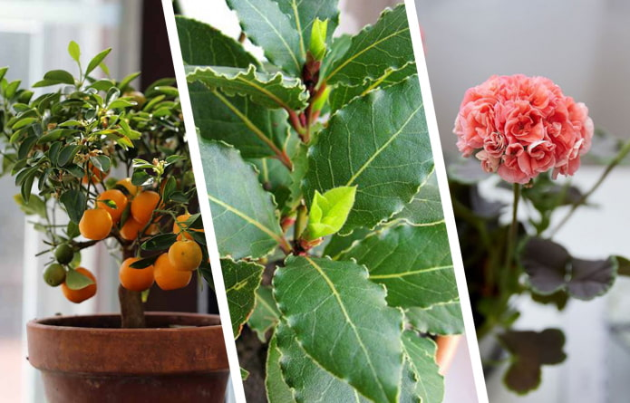 Комнатные растения с приятным ароматом