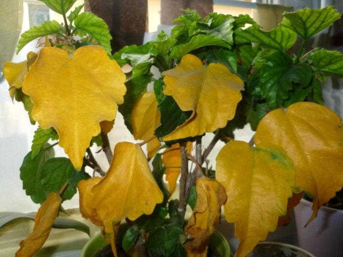 Что делать, если желтеют листья у комнатных растений?