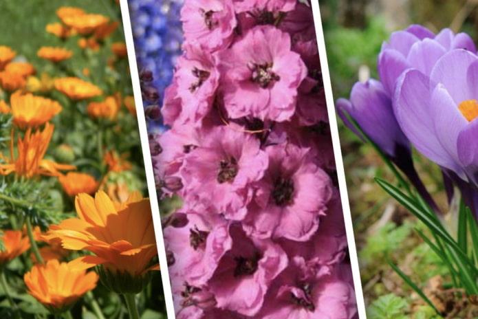 Быстрорастущие цветы для дачи