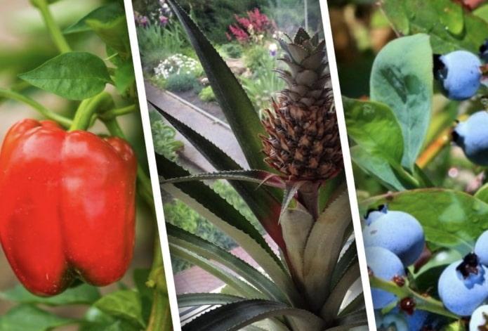 Какие овощи и фрукты можно вырастить на подоконнике?